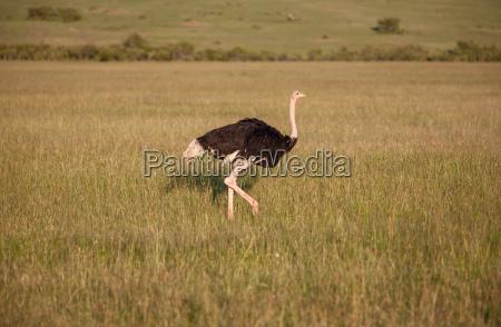 ostrich walking on savanna in