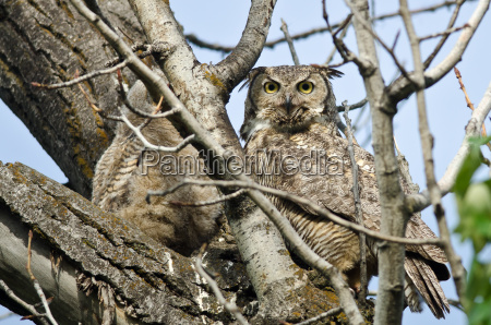 great horned owl making direct eye