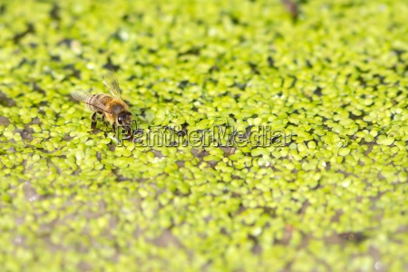 drinking honey bee on small duckweed