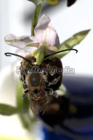 bee ragwort ophrys apifera orchid