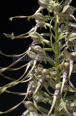 fenugreek tongue himantoglossum hircinum orchid