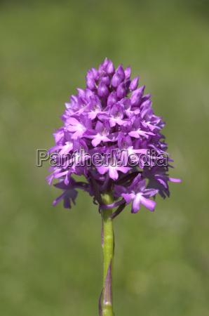pyramid orchid pyramid orchid anacamptis pyramidalis