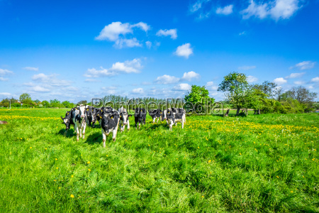 cows on a green field