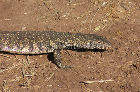 nile monitor in botswana