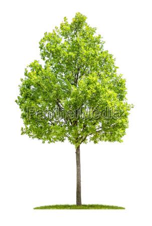 oak against a white background