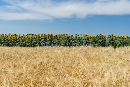 agriculture with sunflowers and corn