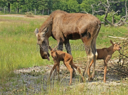 moose cow alces alces cleans her