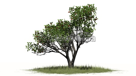 apple tree with fruits on a