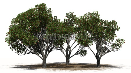 apple tree group with fruits on