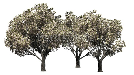 apple tree group with flowers on