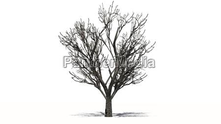 apple tree in winter on white