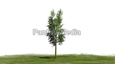 bamboo plant on white background
