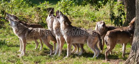 if wolves howl