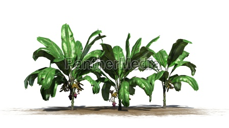 banana plants on a white background