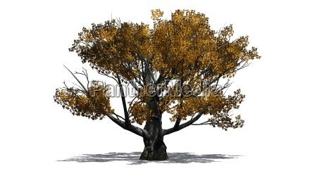 white oak tree in autumn over