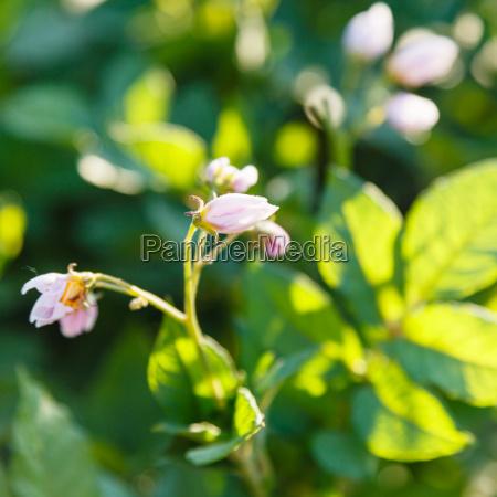 potato flowers in summer evening