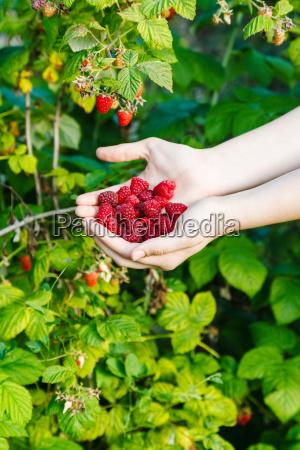 harvesting handful of red raspberries