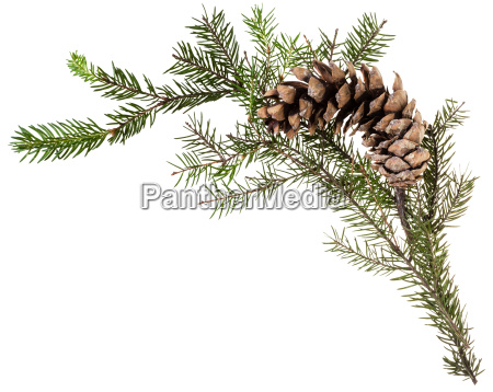 twig of fir tree with cone