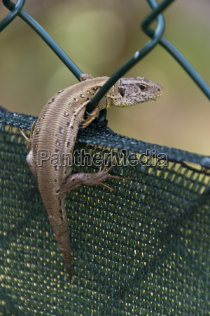 lizard in the fence
