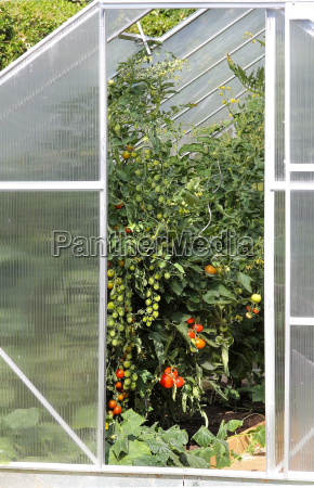 greenhouse plants with tomato