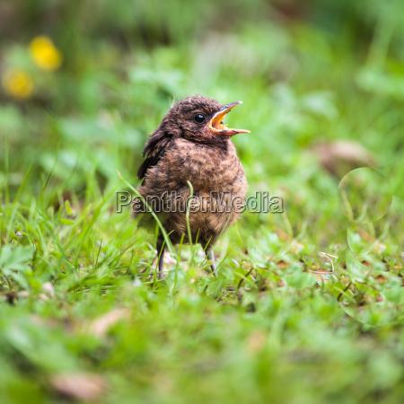 closeup of a baby common blackbird