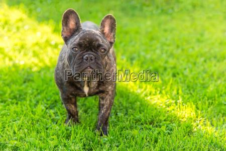 cute domestic dog brindle french bulldog