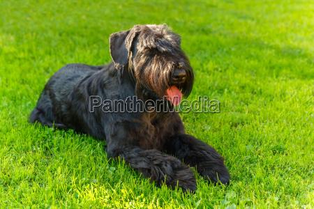 domestic dog black giant schnauzer breed