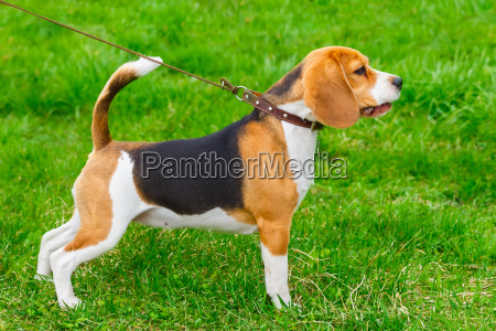 dog beagle breed standing on the