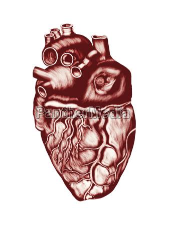 human heart anatomy chambers valves and