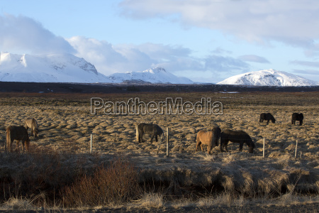 herd of icelandic horses on a