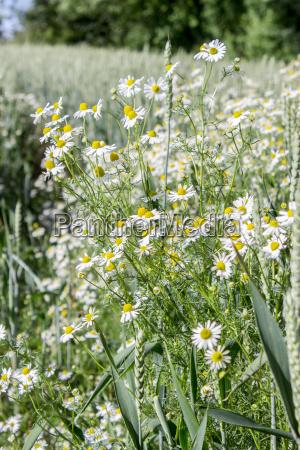 camomile in a wheat field