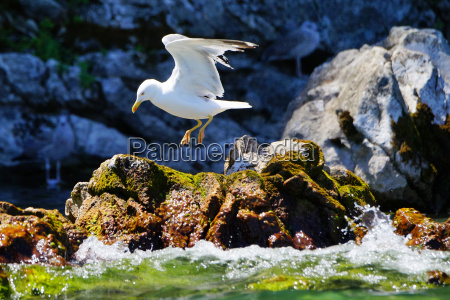 beautiful seagull skips in front of