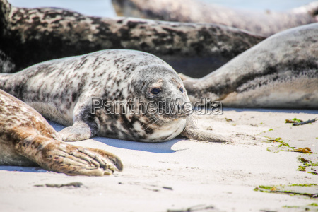 gray seal on the beach of