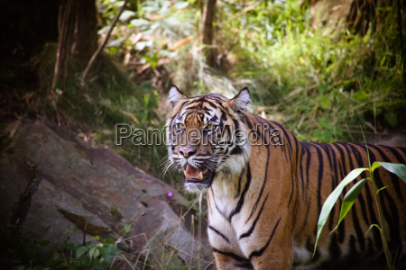 sumatra tiger panthera tigris sumatrae in