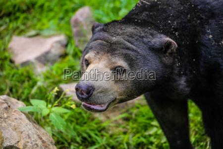 close up of a malayan bear