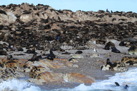 sea lion colonies near cape town