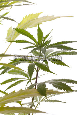 cannabis marijuana plant with green leaves