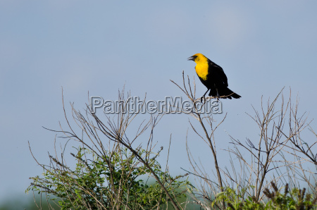 yellow headed blackbird perched on a