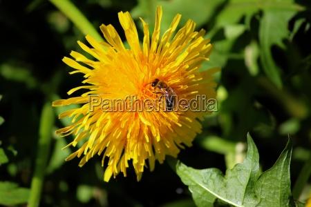 dandelion with honeybee