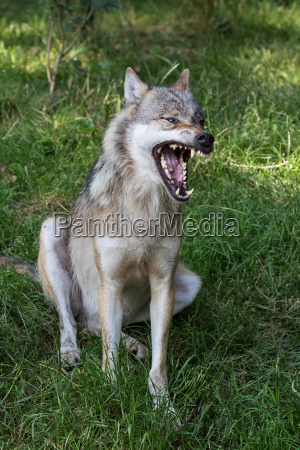 mouth teeth open wolf snarl single