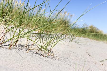 beach grass in sand beach