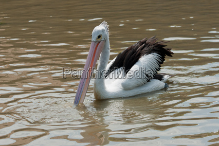 spectacled pelican