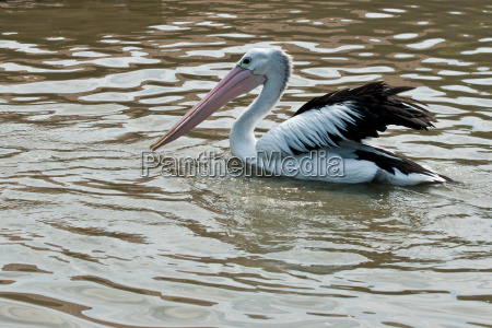 spectacled pelican 2