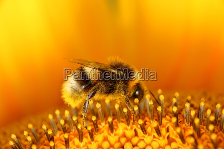 collect hummel in honey