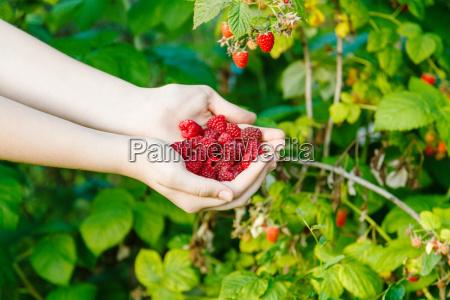 harvesting handful of ripe raspberries