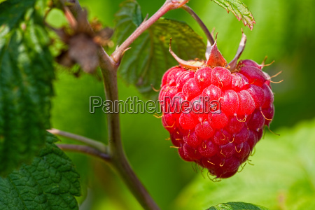 macro recording raspberry in the natural