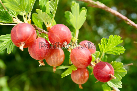 close up of red gooseberries in