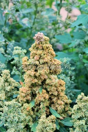 quinoa crop grows at farm