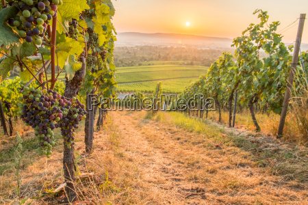 grapes in the vineyard with sunrise