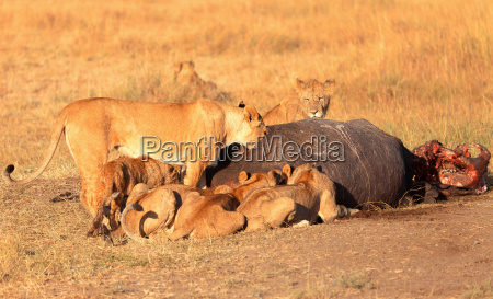 pride of lions eating a pray